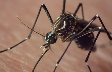 Moustique Aedes aegypti