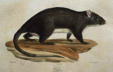 Piloris ou rat musqué de la Martinique