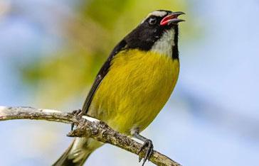 Sucrier A Ventre Jaune Oiseaux Martinique Martinique A Nu