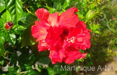 Rose De Cayenne Fleurs Martinique Martinique A Nu